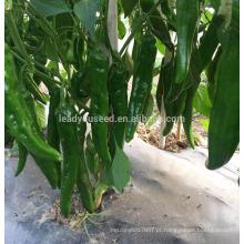 P34 Lvjian sementes de pimenta verde-escuro híbrido de maturidade precoce precoce