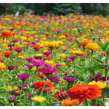 Hot-selling for Flower Seeds Hot sale callistephus seeds for sowing export to India Manufacturers