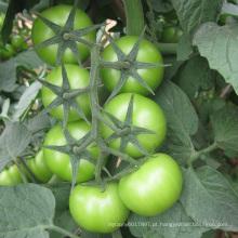 Sementes de tomate híbrido HT24 Cameda vermelho f1 com alto rendimento