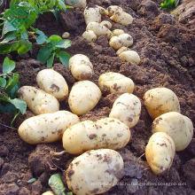 Бангла освобождает картофеля/новый корпус Бангладеш свежего картофеля
