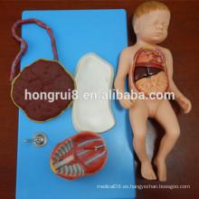 Modelo Anatómico Avanzado del Feto con Viscus y Placenta
