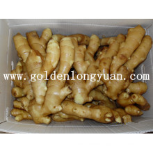 Fresh Ginger Supplied by Golden Supplier