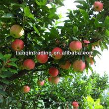 pomme de fuji de grade 1
