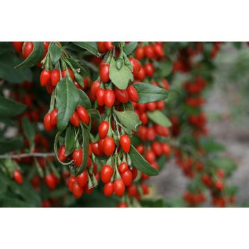 Droogproces Ningxia Factory Goji Berry
