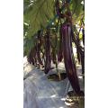 Suntoday Eggfruit violet Brinjai Aubergine Long végétal hybride F1 Aubergine photo Semis bio (23001)
