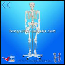 ISO Advanced Medical Life-size180cm de altura esqueletos de plástico modelo humano