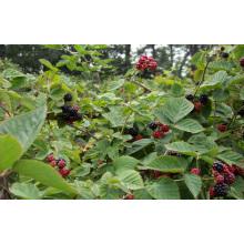 Einzelne schnelle Freezin-IQF Organische Blackberry Zl-1010