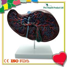Modelo anatômico do fígado humano com modelo da vesícula biliar