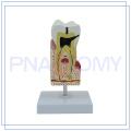 PNT-0542 menschliches Zahnpflege-Modell