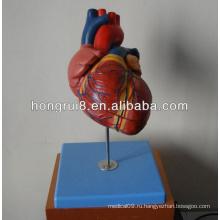 Модель нового сердца для взрослых, модель анатомии сердца