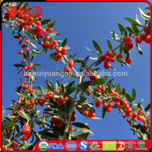 Goji berries where to buy winn-dixiechocolate goji berries where to buy goji berries where to buy it