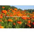 100%pure nature wild tagetes erecta or marigold