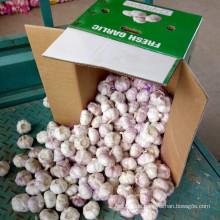 Frischer Knoblauch verpackt in 10kg Karton für Russland Markt
