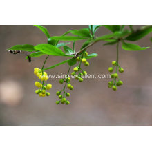 Berberis vulgaris extract powder