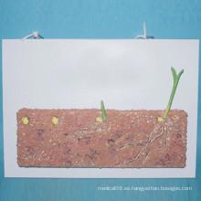 Modelo de Anatomía de Semillas de Cereales de Plantas para la Enseñanza de Biología (R200106)