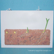 Plant Cereal Seed Anatomy Model for Biology Teaching (R200106)