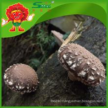 Wild Mushroom Cheap Rare Edible Shiitake Mushroom
