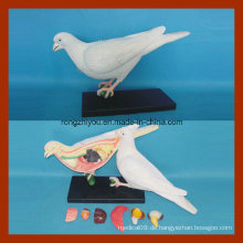Anatomisches Modell der Taube zum Unterrichten