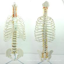 SPINE06 (12379) Medizinische Anatomie Wissenschaft lebensgroße Brustbein mit Transpaentent Rib für medizinische Schule Bildung