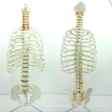 SPINE06 (12379) Médica Anatomia Ciência Life-Size Sternum com Rib Transpaeent para Medical School Education