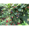 Zl-1046 Anic Blackberry Zl-1046 33