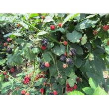 Zl-1046 Anic Blackberry Zl-1046 34