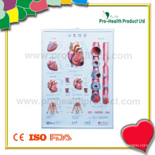3D Anatomical Wall Chart (PH6000)