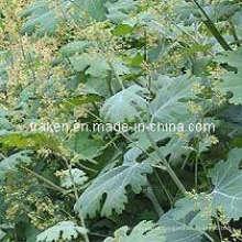 Macleaya Cordata Extract & Celandine Extract