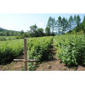 IQF Freezing Organic Raspberry Hr-16090906