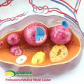 ANATOMY27 (12465) Mujer Clínica Ampliar Ovarios Estructura Modelo Anatómico, 3 Partes, 5 Tiempo Ampliar, Anatomía Modelos de Embarazo