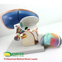 BRAIN13 (12411) Agrandar 3x Life Size 4 Parts Diencephalon Modelo, Modelos de anatomía> Modelos de cerebro médico