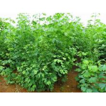 Herbal medicine Ginkgo Folium Ginkgo biloba Ginkgo leaves