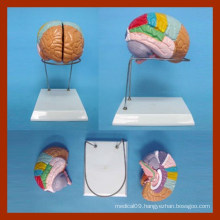 Nature Size Human Brain Model (2 Parts)