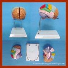 Tamanho da Natureza Modelo do cérebro humano (2 peças)