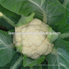 MCF38 FS good quality hybrid cauliflower seeds for cultivation