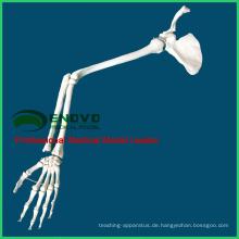 JOINT13 (12360) Medizinische Anatomie Medizinische anatomische lebensgroße obere Extremität, linker Arm oder rechter Arm, Der Knochen der oberen Extremität