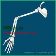 JOINT13 (12360) Anatomie médicale Médicale Anatomique Extrémité supérieure anatomique grandeur nature, bras gauche ou bras droit, os du membre supérieur