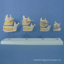Human Tooth Growth Process Anatomy Model for Teaching (R080102)