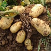 Pas cher prix Nouvelle récolte de pommes de terre fraîches
