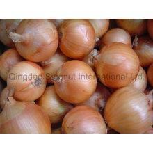 Nova colheita de cebola amarela fresca de boa qualidade