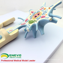 Enlarge 2500x Life Size 2 Parts Neuron Model, Anatomy Models > Brain Models 12412
