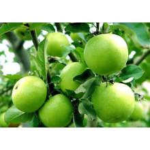 2015 Shandong Delicious Fresh Golden Apple