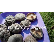 Massenorganischer magischer vollständiger glatter getrockneter Shiitake-Pilz