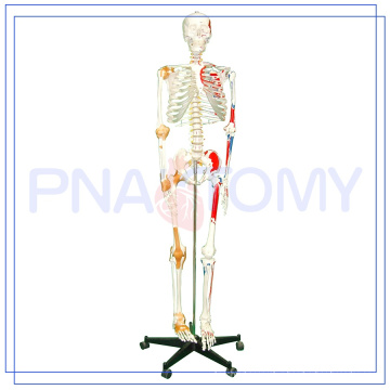 PNT-0103 170cm scientific anatomy skeleton Model with muscles