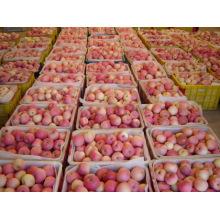 Dulce Fuji Apple Con Alta Calidad