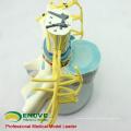 VERTEBRA06 (12389) Medical Science Enlarge Spinal Nerve Anatomical Model, Medical Anatomy Spinal Cord Model