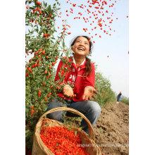 Bayas secas de Goji / bayas orgánicas de Goji / Wolfberry chino