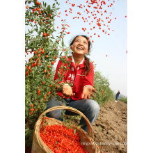 Dried Goji Berries/Organic Goji Berries/Chinese Wolfberry
