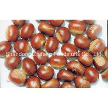 Neue Ernte Chinese Fresh Chestnut