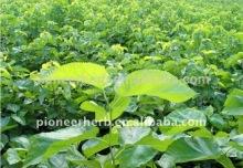 Morus alba leaf extract powder Polysaccharides p.e.